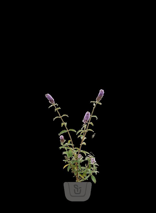 Vlinderstruik    Buddleja davidii 'Ile de France'