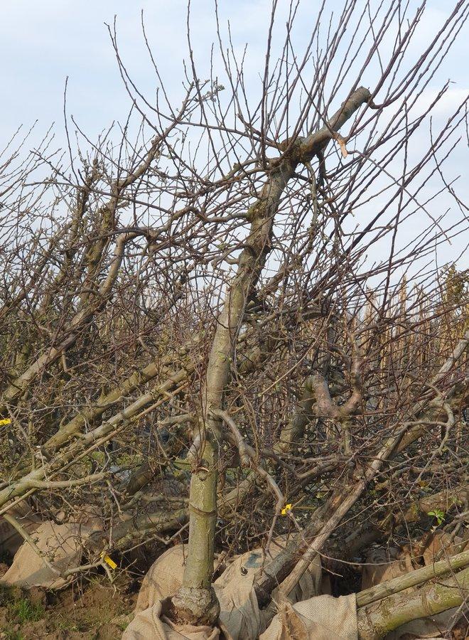 Oude fruitboom | Malus domestica Rode Boskoop