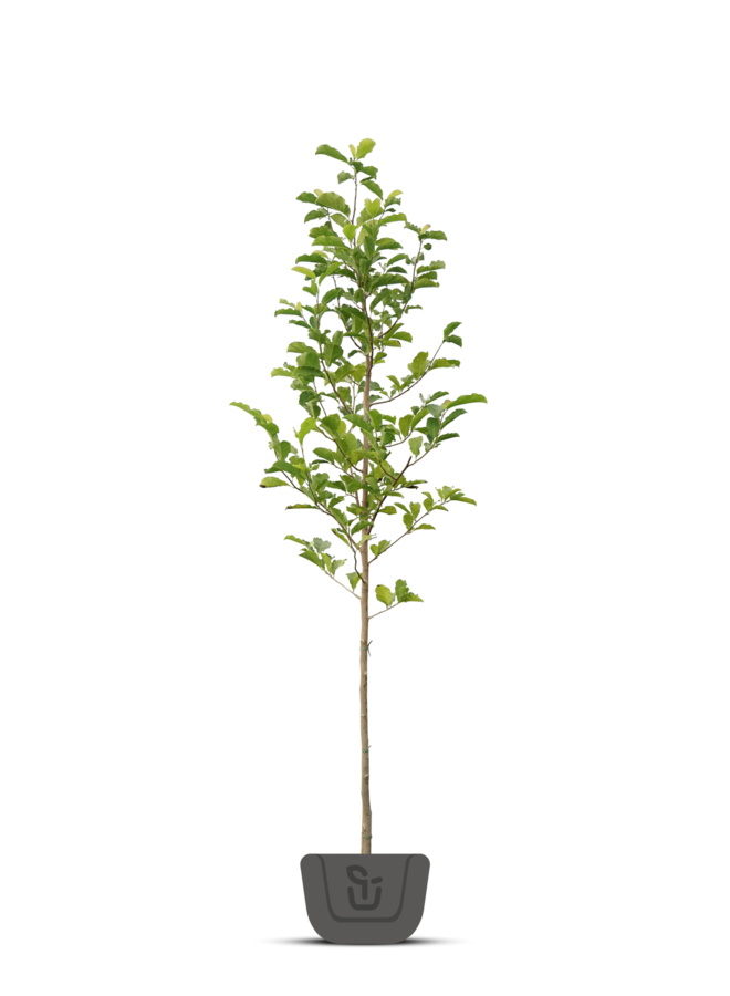 Beverboom | Magnolia soul. Alba Superba