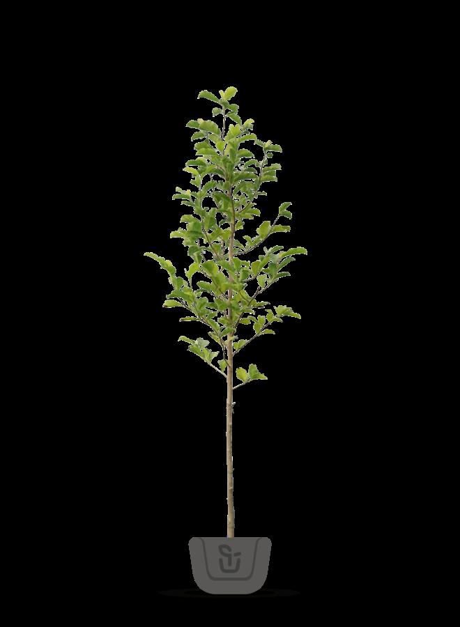 Magnoliaboom | Magnolia soulangeana Alba Superba