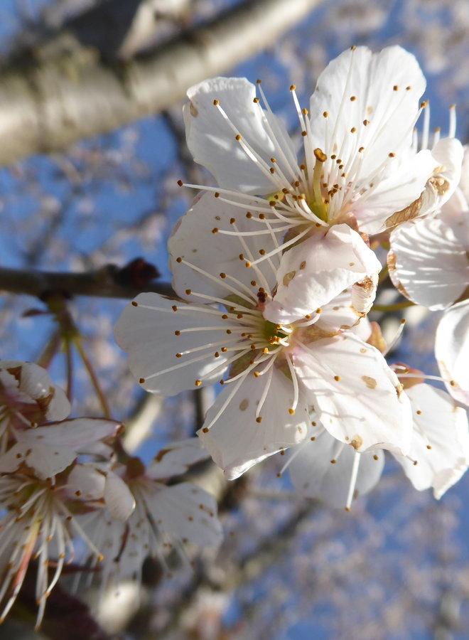 Witte sierkers | Prunus 'Colt'