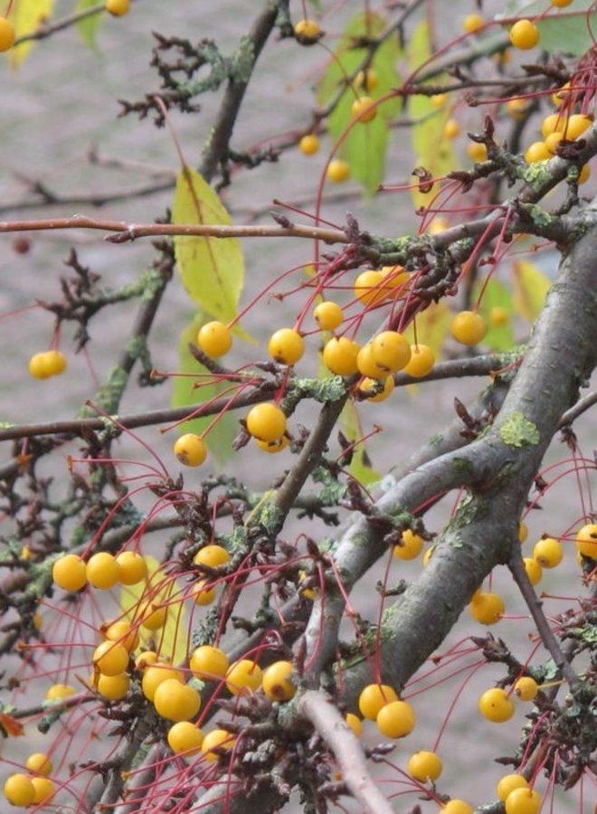 Gele Leisierappel | Malus toringo Brouwers Beauty