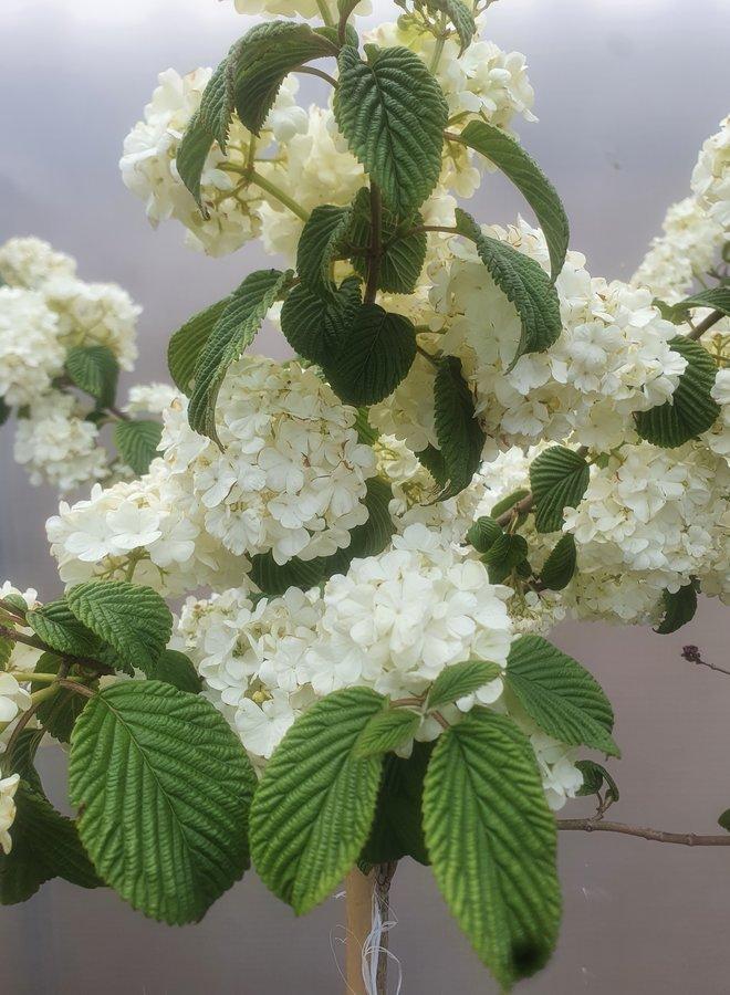 Japanse sneeuwbal op stam |  Viburnum plicata Popcorn