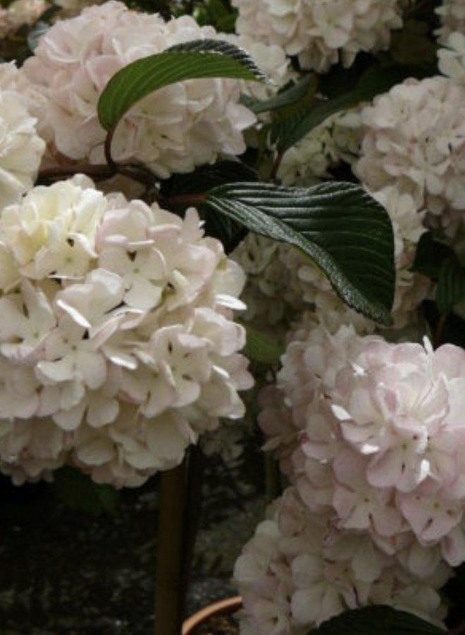 Japanse Sneeuwbal op stam |  Viburnum plicata Pink Sensation