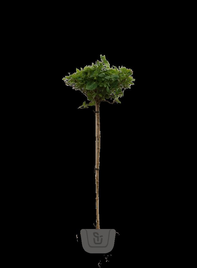 Hortensia op stam |Hydrangea macr. Forever White