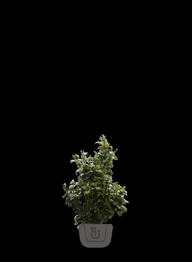 Liguster struik    Ligustrum japonicum Texanum