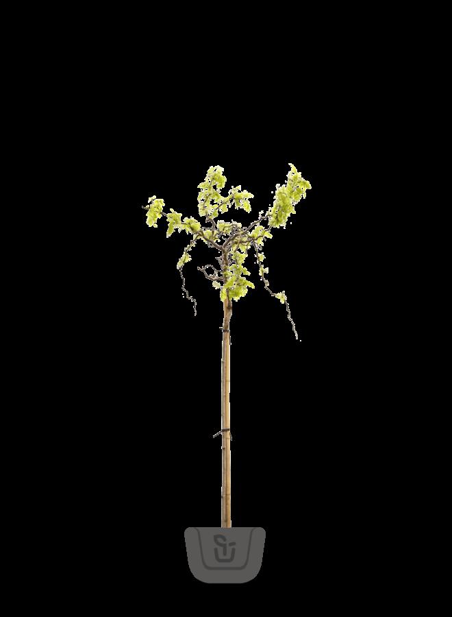 Kronkel acacia | Robinia Twisty Baby