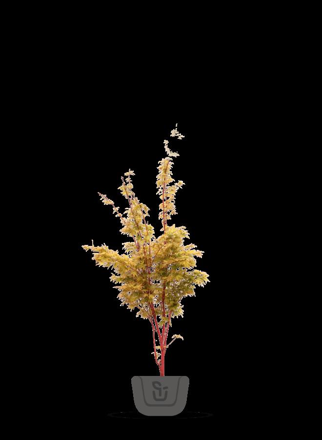 Japanse esdoorn - Acer palmatum Sangokaku