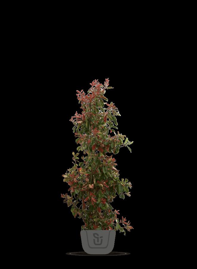 Photinia fraseri Red Robin | struik