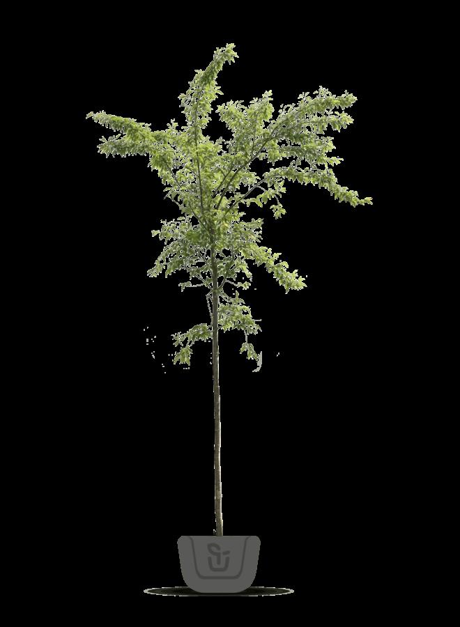 Japanse sierkers   Prunus serrulata Shirofugen