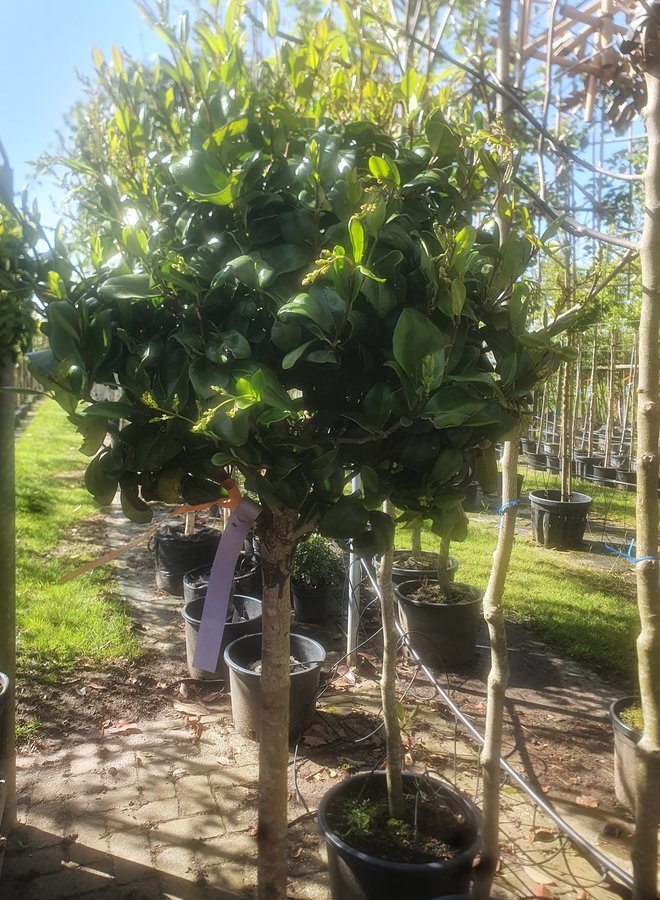 Liguster op stam |  Ligustrum japonicum Texanum