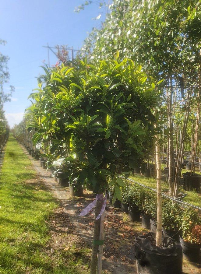 Portugese laurier op stam | Prunus Lusitanica Brenelia