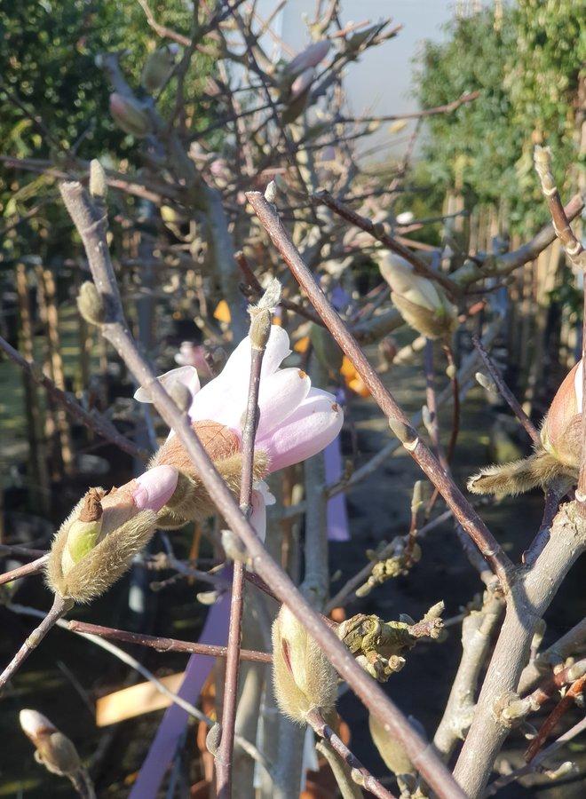 Stermagnolia | Magnolia  stellata op stam