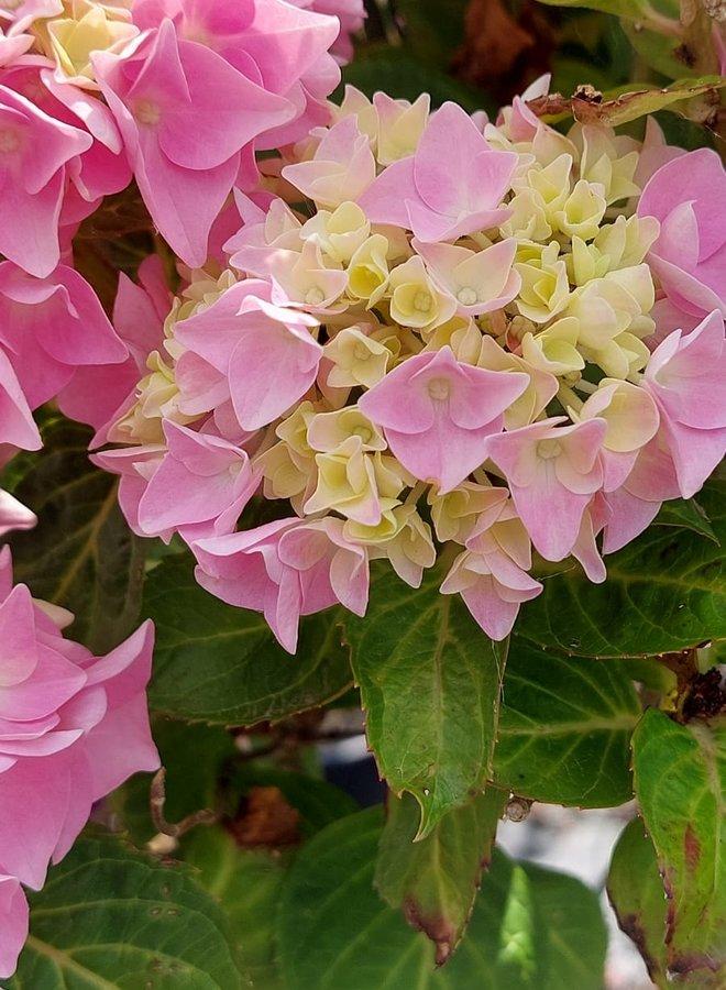 Hortensia op stam   Hydrangea macr. Forever Pink