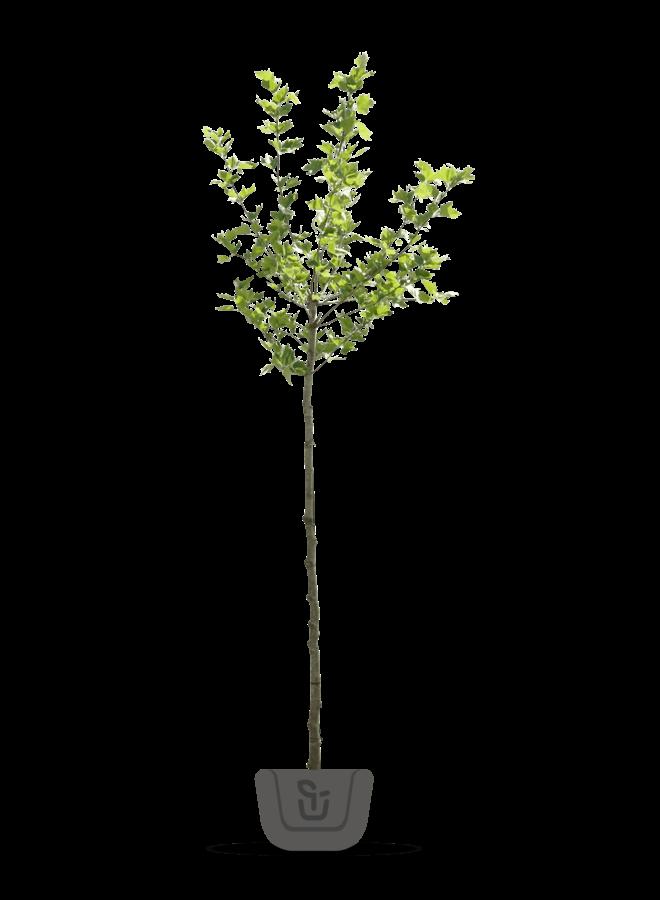 Moerbei  | Morus alba Platanifolia