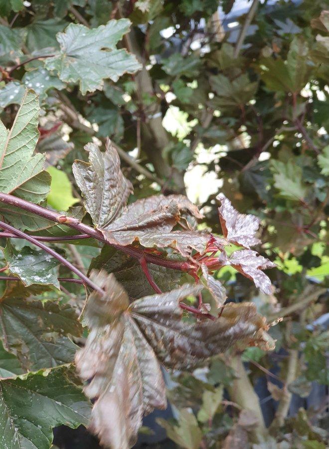 Rode Esdoorn   Acer platanoides Crimson Sentry