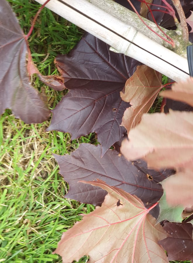 Rode esdoorn | Acer platanoides  Royal Red
