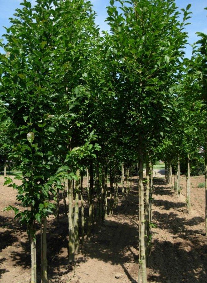 Beverboom | Magnolia susan