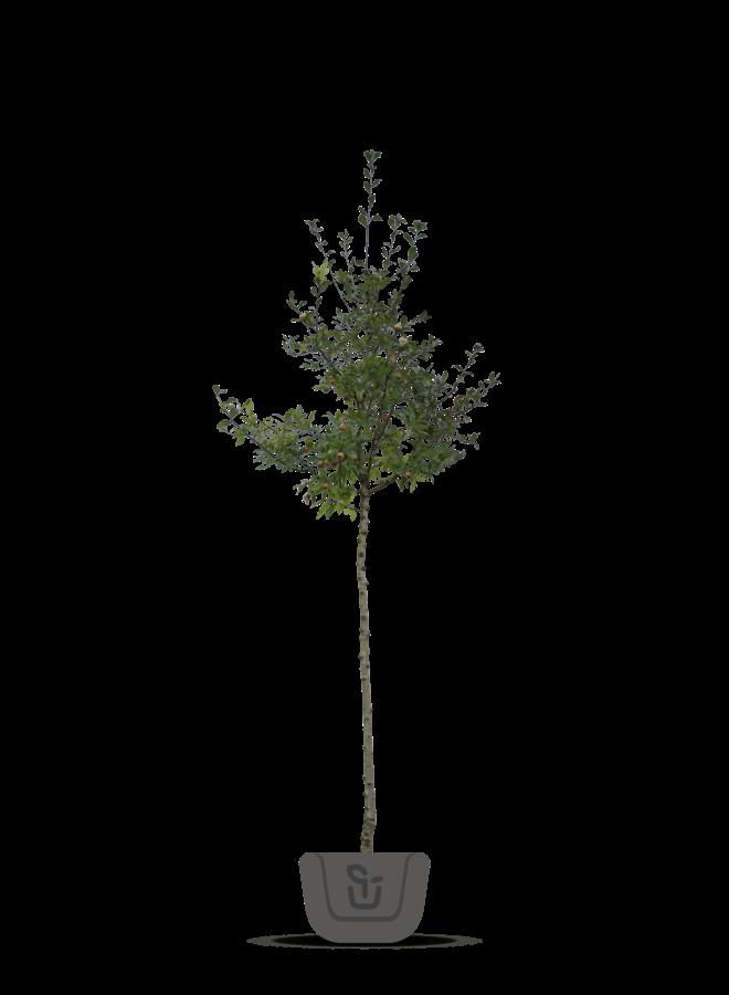 Mispel | Mespilus germanica