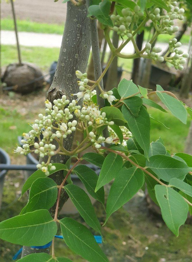 Bijenboom   Tetradium Daniellii