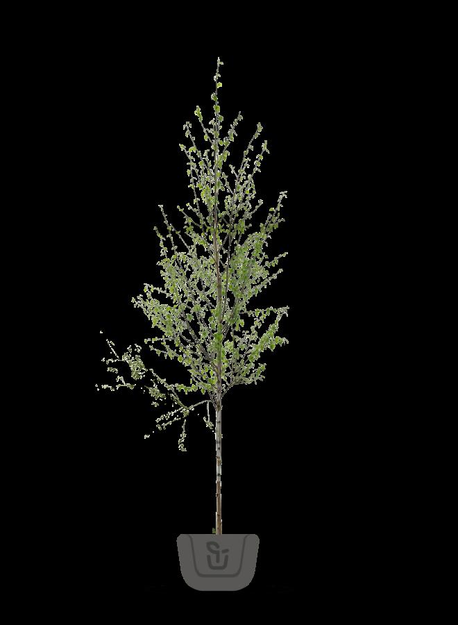 Witte Berk    Betula utilis