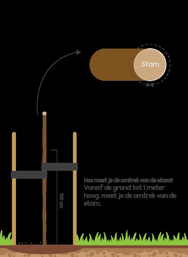 Olijfwilg op stam   Elaeagnus ebbingei