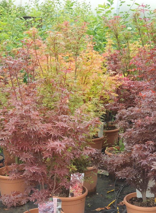 Japanse esdoorn   Acer palmatum Skeeters Broom