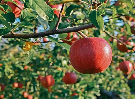 Fruitbomen