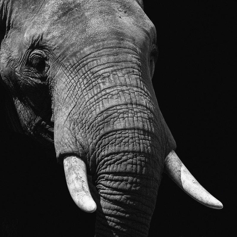 Wandkraft  Wild life Elephant Afm 74x74