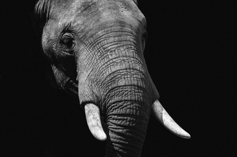 Wandkraft  Wild life Elephant 148 x98