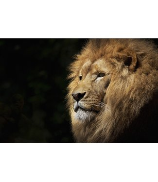 Wandkraft  WILD LIFE LION WALL DECORATION 74 x74