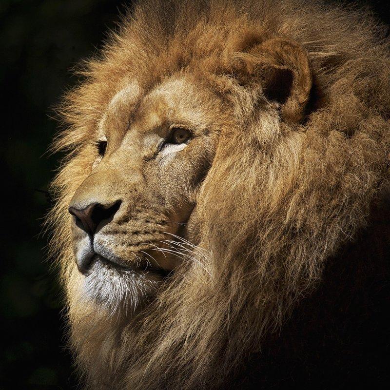 Wandkraft  WILD LIFE LION WANDDECORATIE