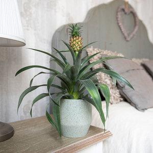 WoonQ-Ananasplant 'Ananas Comosus'-aanbieding