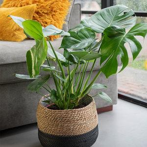 -Gatenplant 'Monstera Deliciosa' XL-aanbieding
