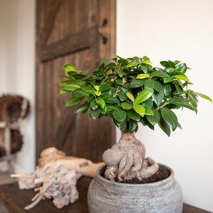 WoonQ-Kamer Bonsai Ficus 'Ginseng'-aanbieding