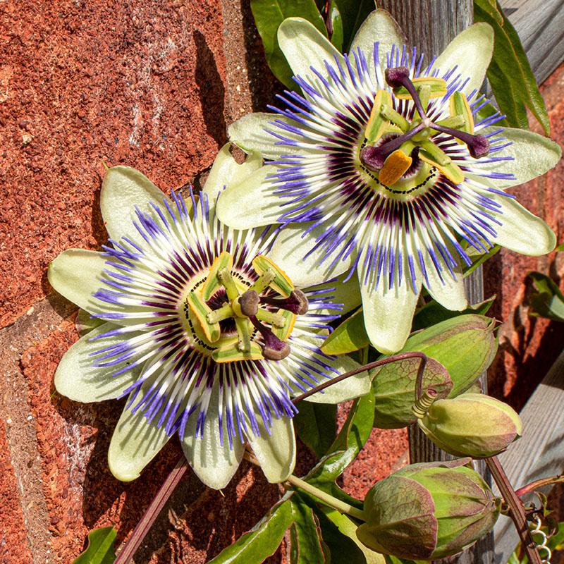 Set van 3 - Blauwe passiebloem 'Passiflora Caerulea'