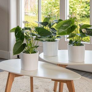 WoonQ-Set van 3 - Anthurium Wit-aanbieding
