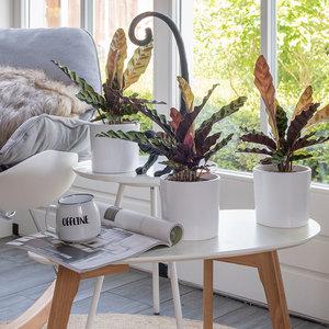 WoonQ-Set van 3 - Pauwenplant 'Calathea Insignis'-aanbieding