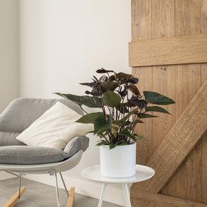 WoonQ-Flamingoplant 'Anthurium Zwart'-aanbieding