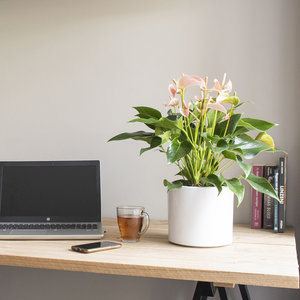 WoonQ-Flamingoplant 'Anthurium Peach'-aanbieding
