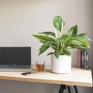 WoonQ-Lepelplant 'Spathiphyllum'-aanbieding