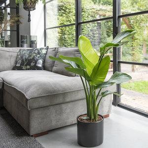 -XL Paradijsvogelplant 'Strelitzia Nicolai'-aanbieding