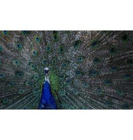 Dibond schilderij Pauw 118x70cm