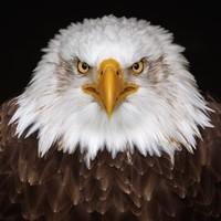 Malerei Dibond Eagle 74x74cm