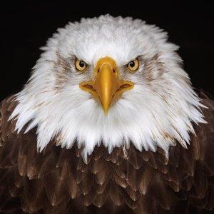 Wandkraft Painting dibond Eagle 74x74cm