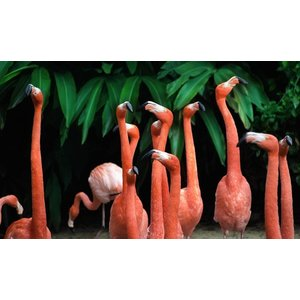Wandkraft Painting dibond group Pelicans 118x70cm