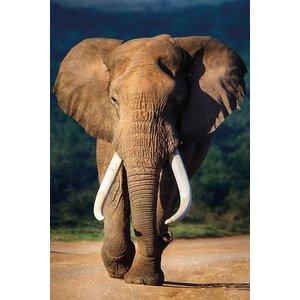 MondiArt Aluminium schilderij  Oude olifant