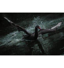 Dibond Malerei Black Swan 148x98cm