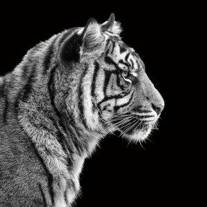 Eliassen Fotoschilderij 80x80cm Tiger1