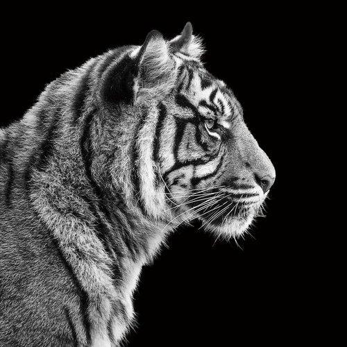 Eliassen Photo painting 80x80cm Tiger1